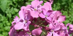 planten_in_juni_lunaria_annua