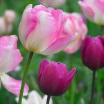 bloembollen_planten
